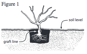 Soil level and graft line