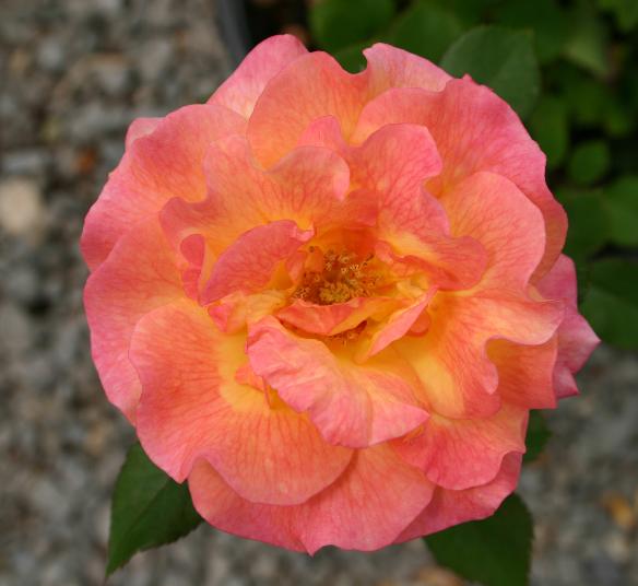 A multicolor floribunda rose, 'Mardi Gras'