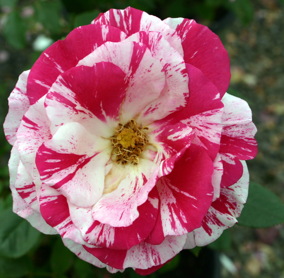 A floribunda rose, 'Scentimental' blooms in red and white