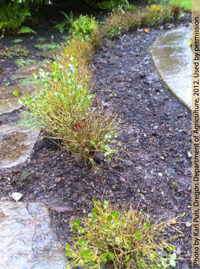 Defoliation of boxwood caused by boxwood blight in a home landscape