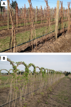 Primocanes topped at 6 feet in winter (A) and primocanes arc-cane trained, showing early bud break and growth (B) in spring