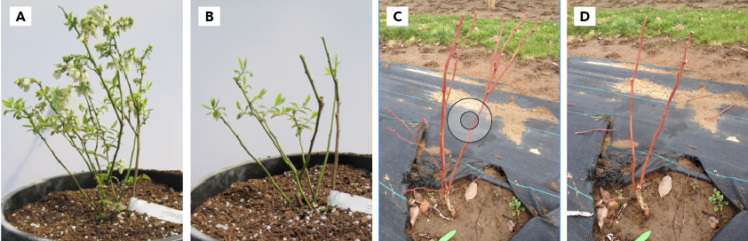 'Chandler' blueberry plant before (A) and after (B) pruning when planted in the spring (in a container); blueberry plant just after planting in October (C) before pruning (note large fruit buds at the tip of the wood) and after pruning (D).