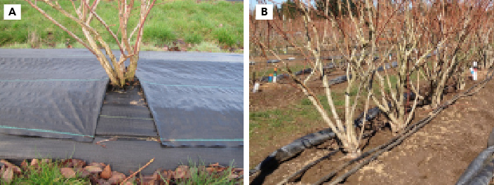 """""""Zippered"""" weed mat to allow opening for fertilization. Weed mat closed (A) and open (B)."""