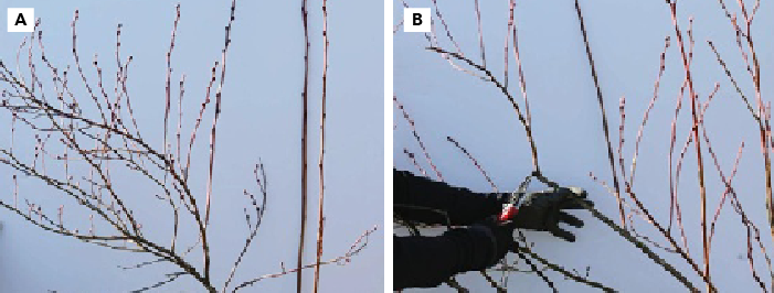 On a mature blueberry bush, thin to the most productive laterals to limit fruit production and promote new growth. Shows a mature bush before pruning (A), and after pruning to best laterals (B).