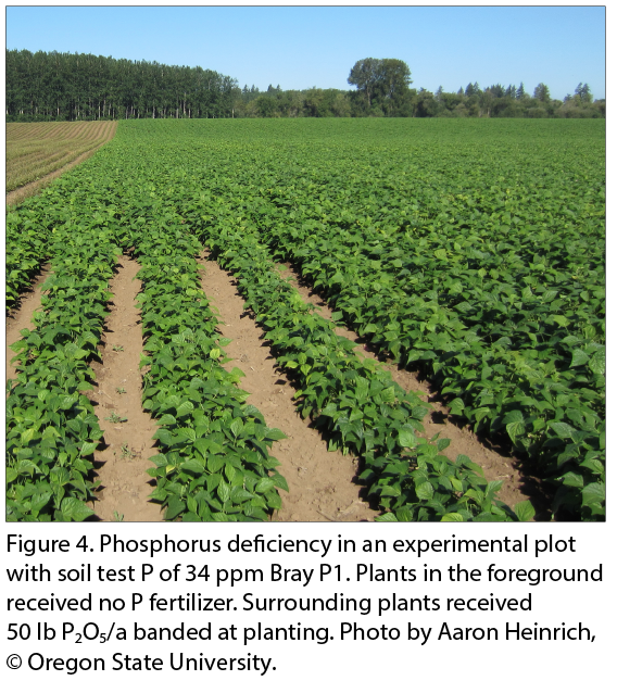 phosphorus snap beans