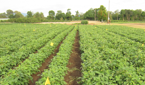 Figure 5. Plant growth in a field with high incidence and severity of bean root diseases—fumigated rows (right) and untreated rows (left). Photo by Aaron Heinrich, © Oregon State University.