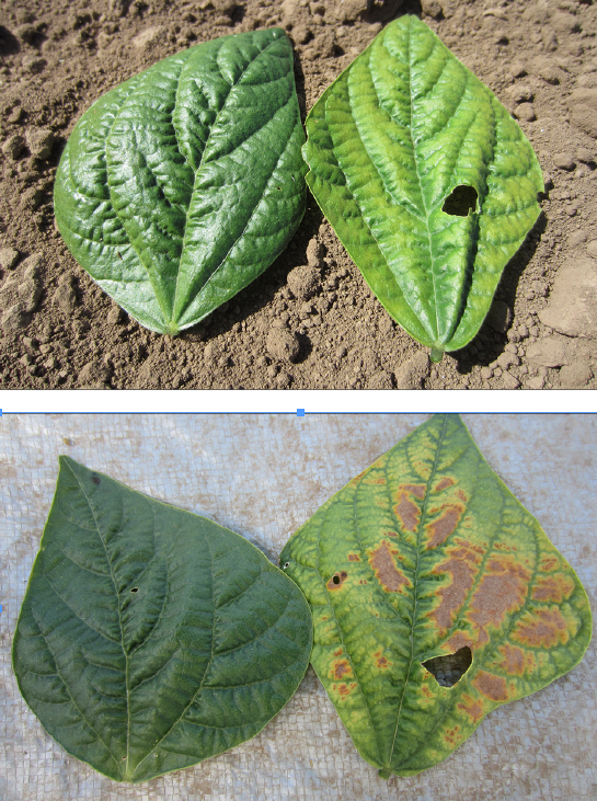 Figure 7. Leaf K deficiency symptoms in a field with soil test K of 71 ppm. Healthy leaf is on the left in each photo, and deficient leaf is on the right. Interveinal chlorosis (photo on top) began to appear during pod fill, approximately 50days after planting. By harvest (61 days after planting), necrotic spots had appeared (photo on bottom). Photos by Aaron Heinrich, © Oregon State University.