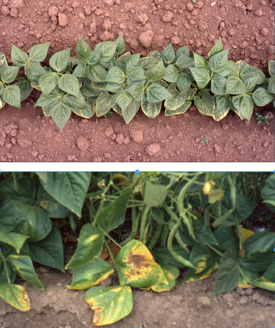 Figure 10. Mild (top) and severe (bottom) boron toxicity symptoms following preplant soil applications of 2.7 and 5.4 lb B/a, respectively. Photos by John Hart, © Oregon State University.