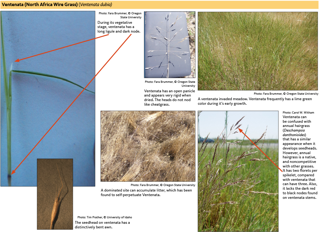 Ventenata has an open panicle and appears very rigid when dried. The heads do not nod like cheatgrass.
