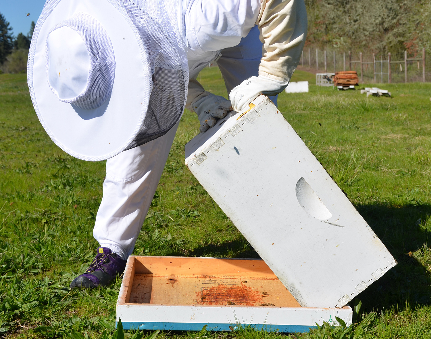 Figure 11. Lifting hive body to inspect for beetles that may have moved down onto the outer cover