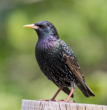 A European starling perches on a fencepost.
