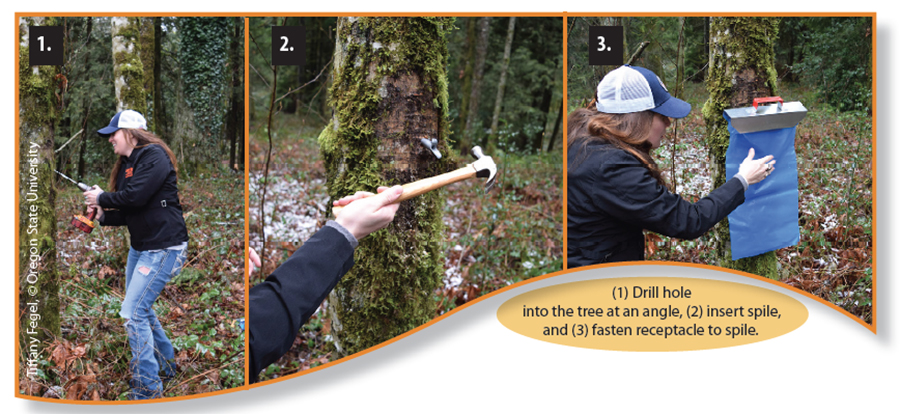 These photos show the steps involved in tapping a maple tree.