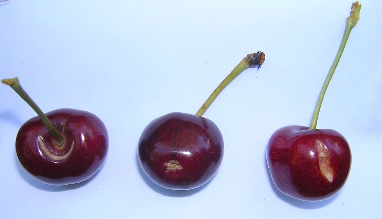 These cherries show three types of fruit cracking. The cherry on the left shows stembowl cracking, the center cherry shows distal end cracking, and the cherry on the right shows side cracking.