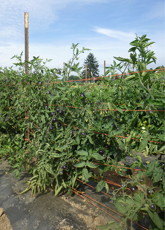 Basket-weave training system on 'Indigo Rose' tomatoes