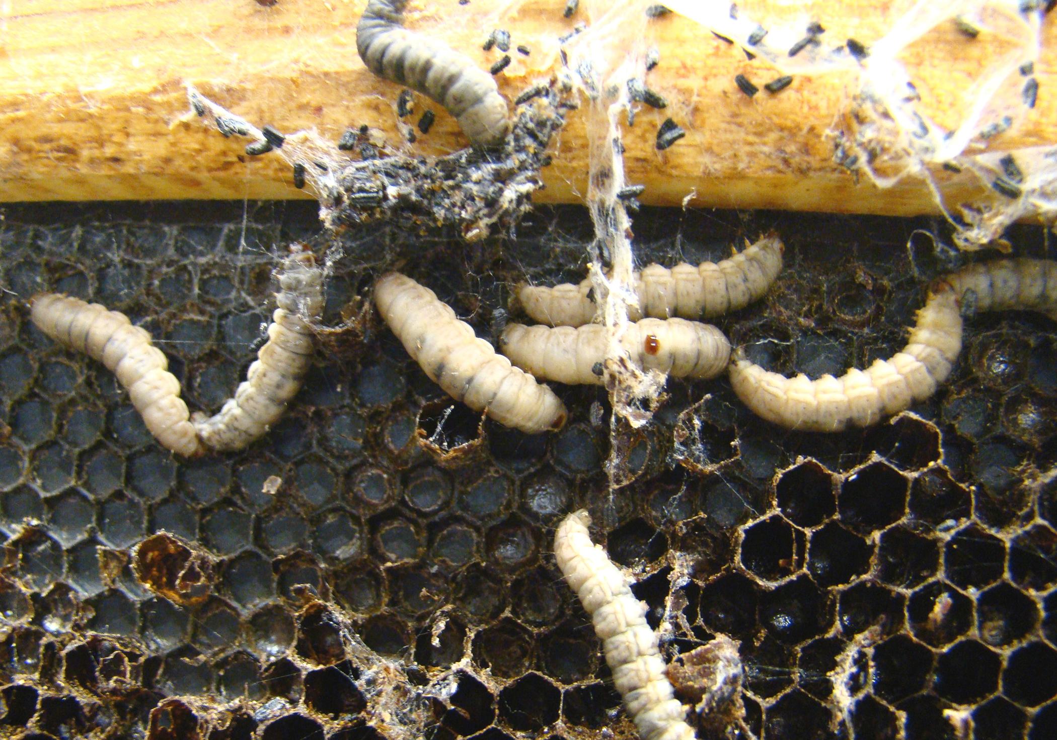 Figure 8. Wax moth larvae