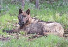 wolf in grass
