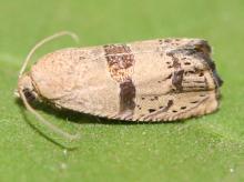 An adult filbertworm