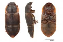 Dorsal, lateral, and ventral view of the sap beetle Brachypeplus basalis (family: Nitidulidae) Photos by Chris Hedstrom, Oregon Department of Agriculture