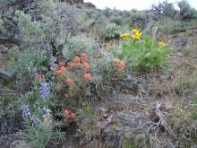 A healthy sagebrush steppe plant community with a high diversity of species
