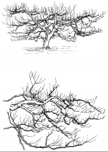 Figure 16: The top drawing shows an old apple tree that is kept to about 12 feet high by extending the branches horizontally instead of vertically. The bottom drawing is an enlarged view of how it is pruned.
