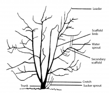 Figure 1.  Common terms used in pruning and training fruit trees.