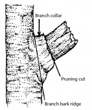 Figure 2. Always preserve the branch collar, the raised tissue at the base of every branch. Make your pruning cut at an equal and opposite angle from the branch bark ridge.