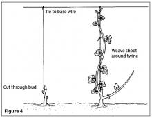 Training in the planting year (short parallel lines show pruning cuts).