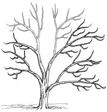 Figure 4. This tree is too tall. To reduce its height, cut out whole limbs at the top (gray).