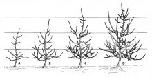 Figure 6. It takes four winters to train trees to a central leader (gray indicates removed or headed shoots).