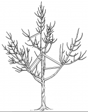 Figure 8 shows how to spread branches while the tree is young.
