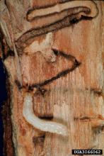 Photo of bronze birch borer larva