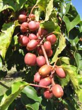 Photo of 'Ananasnaya' hardy kiwifruit