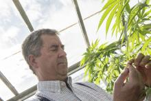 Photo: Stephen Ward, © Oregon State University Oregon State University hemp leader Jay Noller examines an industrial hemp plant.