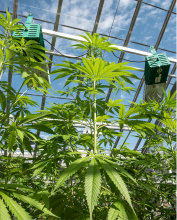 Photo: Stephen Ward, © Oregon State University Hemp plants growing in an Oregon State University research greenhouse.