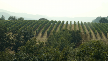 smoke over a vineyard