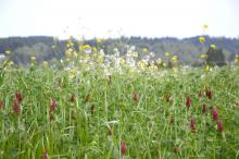 Photo: Tracy Robillard, U.S. Department of Agriculture Figure 3. A diverse winter cover crop including crimson clover, hairy vetch, cereal grains and brassicas.