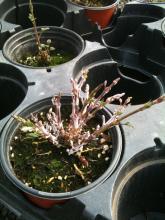 Powdery mildew flag shoots on potten plants grown in a greenhouse