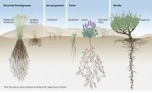 Figure 3. Diagram illustrating species that represent common plant functional groups in the sagebrush ecosystem, and the role of these groups in occupying space both above and below ground. Conifers are not shown. Figure from Schroeder and Johnson (2018).
