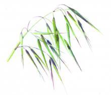 Invasive annual grasses