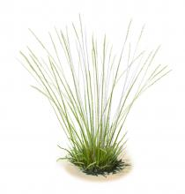 Large perennial bunchgrasses