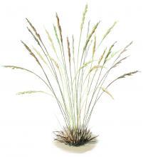 Small perennial bunchgrasses