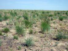 A native bunchgrass landscape composed of bottlebrush squirreltail, Idaho fescue and the smaller Sandberg's bluegrass