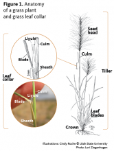 Diagram showing seed head, culm, ligule, blade, sheath and crown