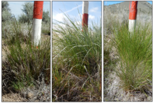 Thurber's needlegrass, left, bluebunch wheatgrass and Idaho fescue shown in rapid vegetative growth stage