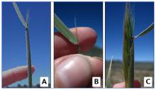 Photos: Lori Ziegenhagen Figure 5. Boot stage in bottlebrush squirreltail. Figures 5A and 5B show mid-boot stage. Figure 5C shows late boot stage.