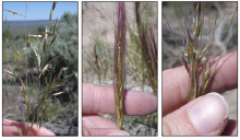 Flowering stage of Idaho fescue, left, bottlebrush squirreltail and Thurber's needlegrass.