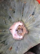 Photo: Alex Stone, © Oregon State University Figure 7. Squash fruit rot.