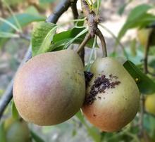 Dark codling moth damage on pears