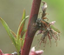 Figure 5. Brown rot blossom blight is a fungal disease of peach.