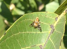 Figure 9. Adult walnut husk fly on a leaf.